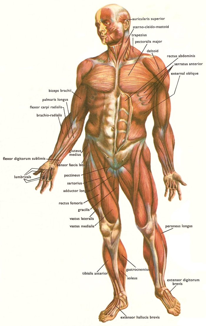 muscles of leg. model ofimage Leg muscles